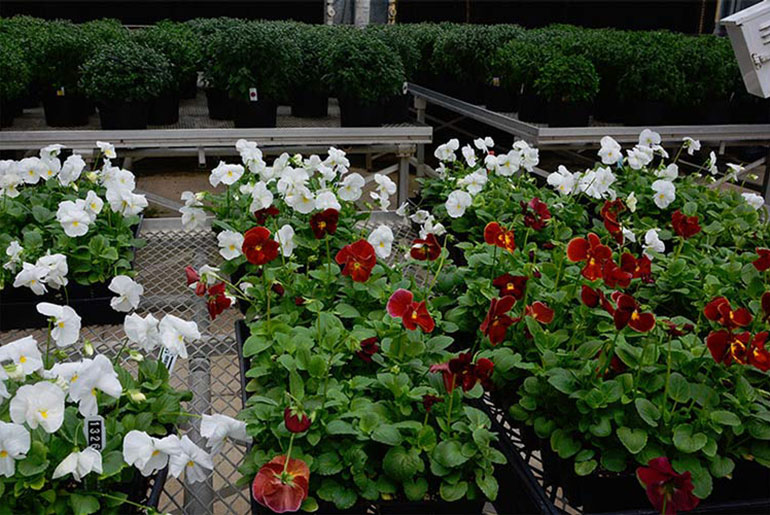 MSU students prepare fall plants for sale