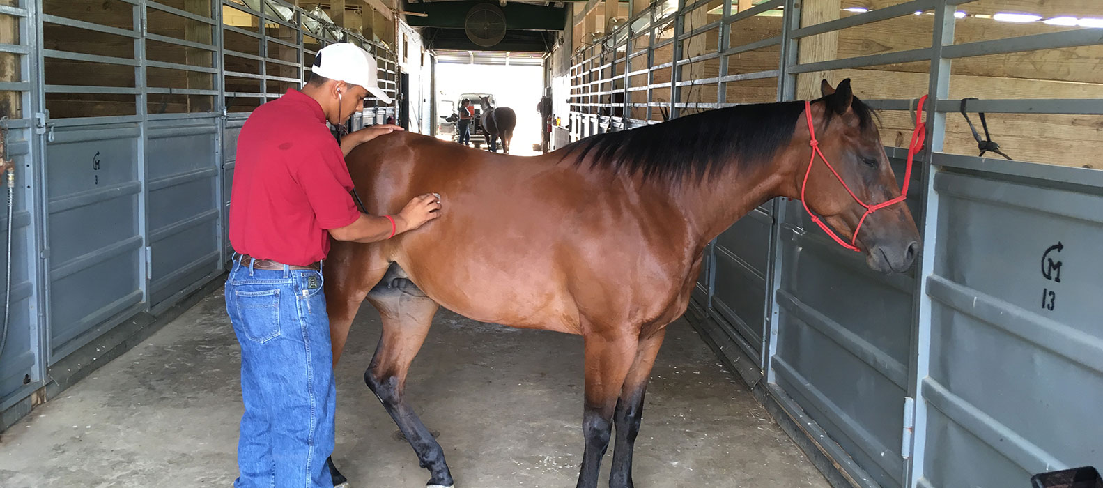 Student grooming a horse